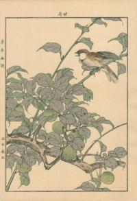 JAPANESE APRICOT, RUSSET SPARROW