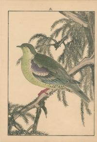 PEACOCK PINE, GREEN PIGEON